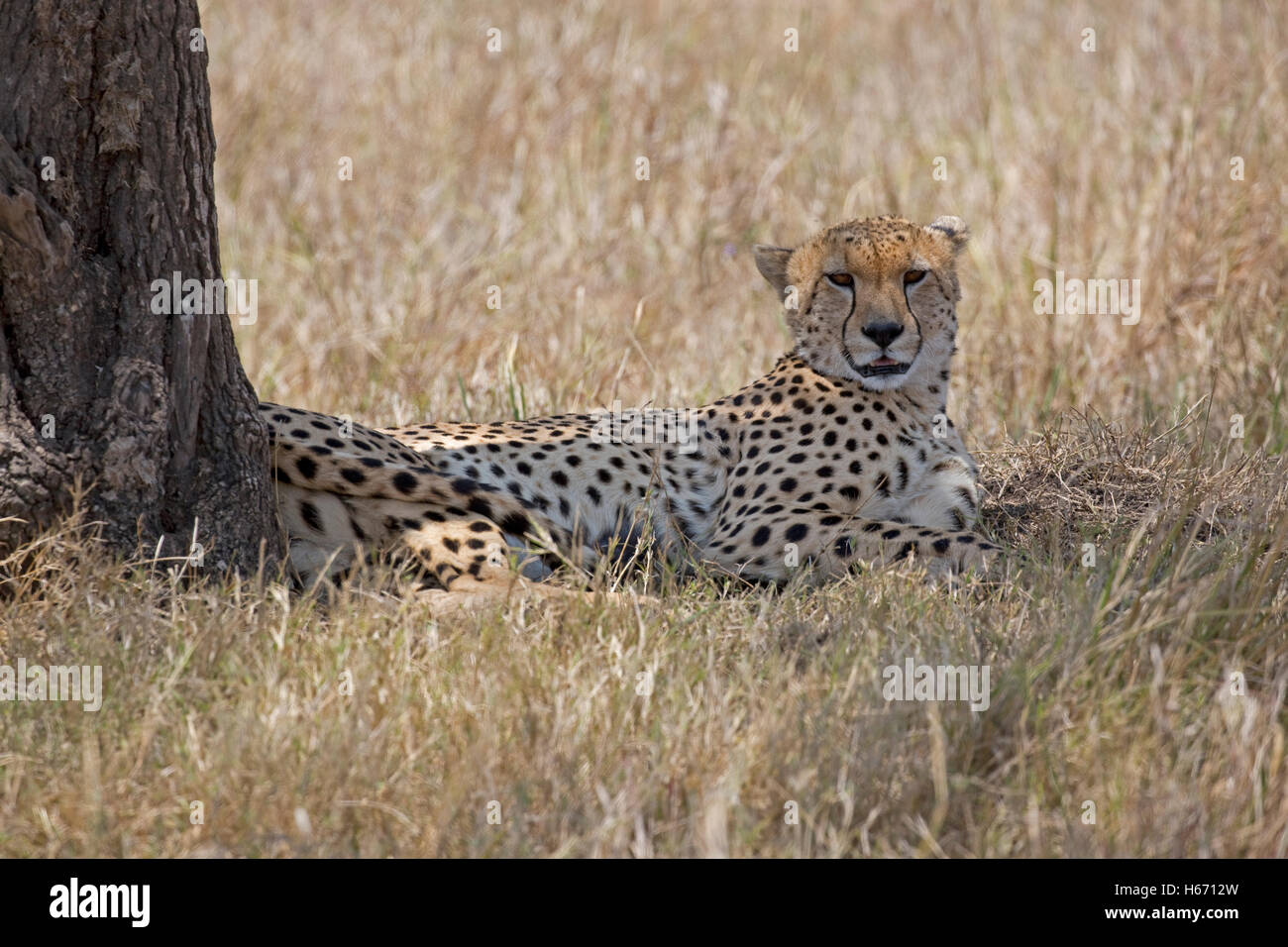 Solitary cheetah resting in shade under tree Masai Mara Kenya - Stock Image