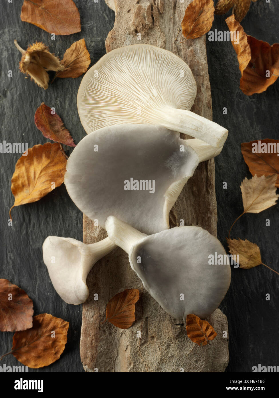 Fresh picked raw grey oyster mushrooms, Pleurotus ostreatus, uncooked - Stock Image
