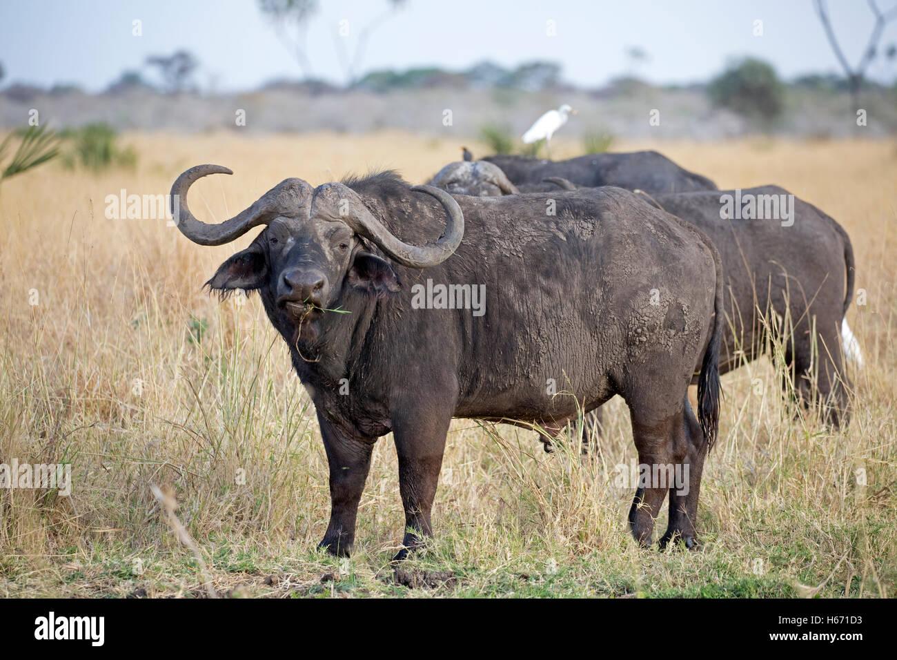 Two African cape buffalo Syncerus caffer Meru National Park Kenya Stock Photo