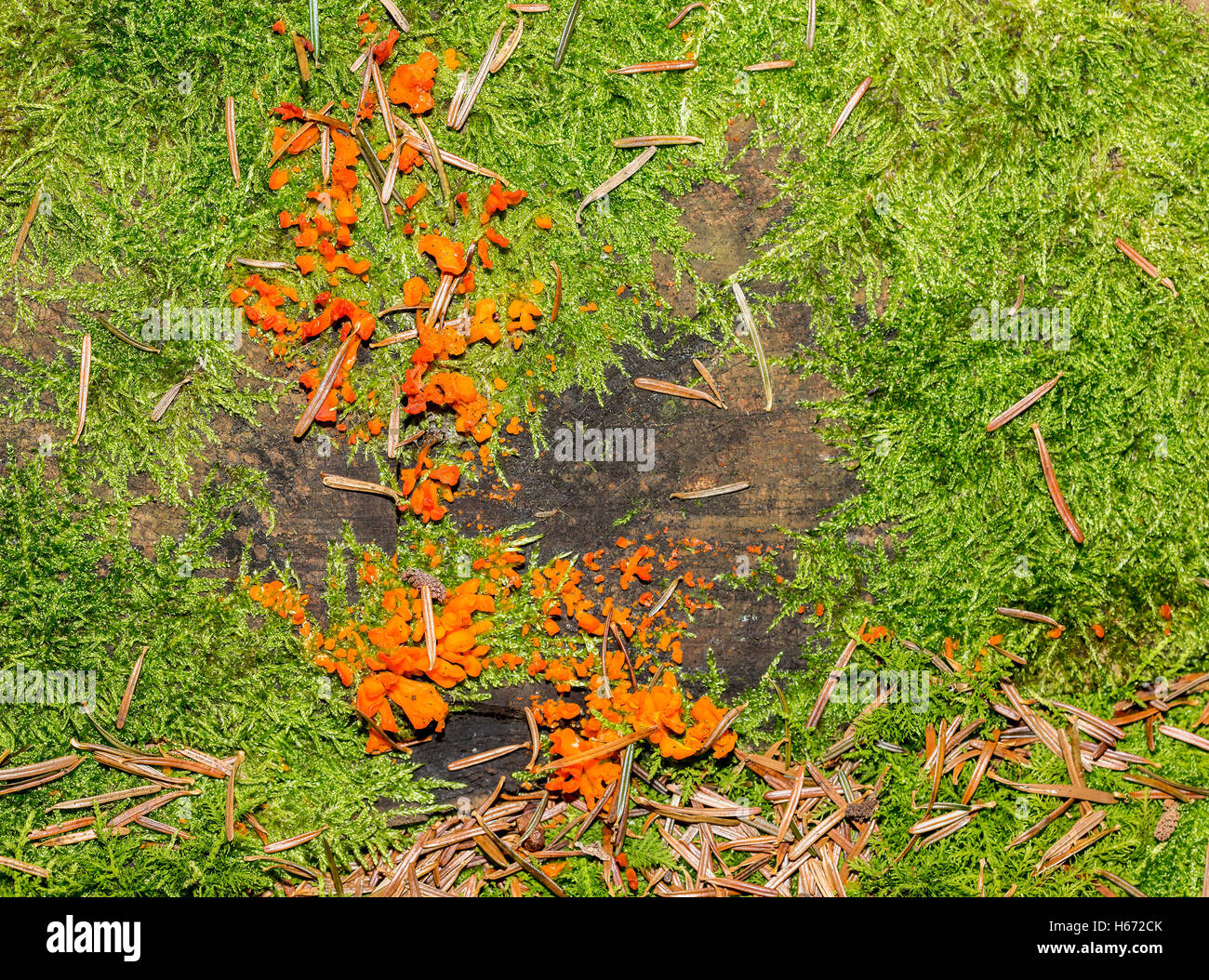 Group of Tremella aurantia growing on a tree stump. - Stock Image