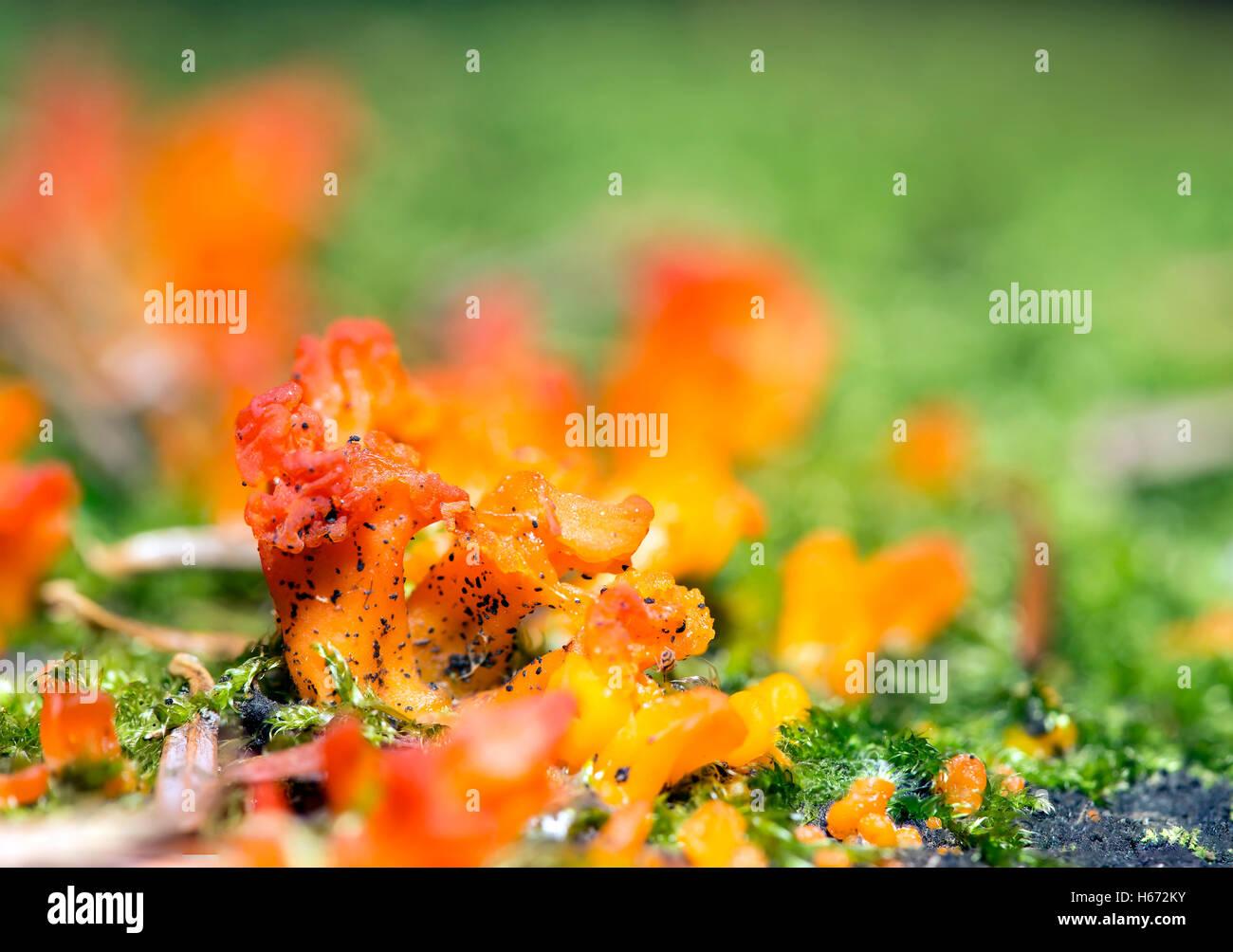 Tremella aurantia mushroom close up magnification. - Stock Image