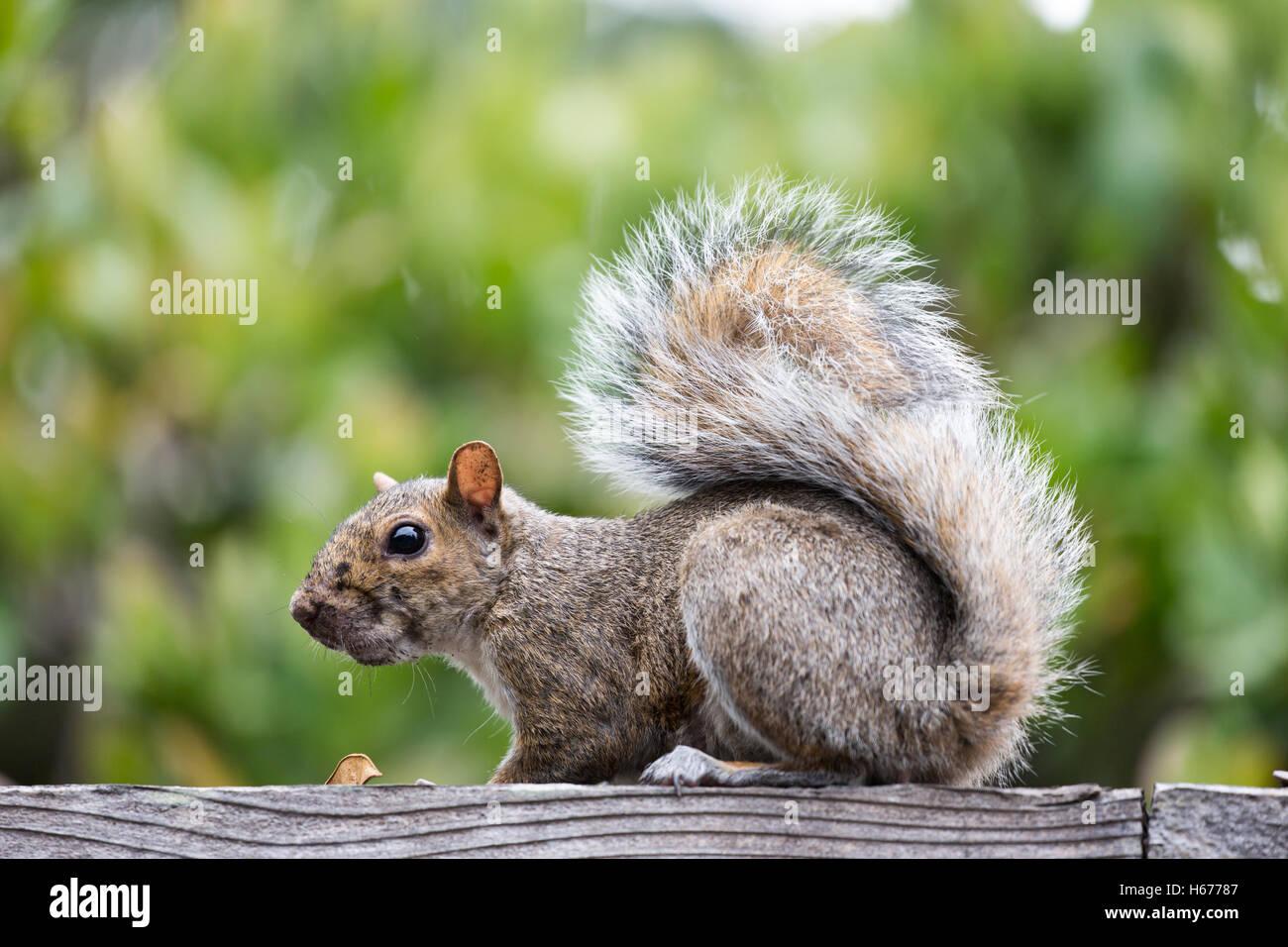 Eastern Gray Squirrel - sciurus carolinensis - Stock Image