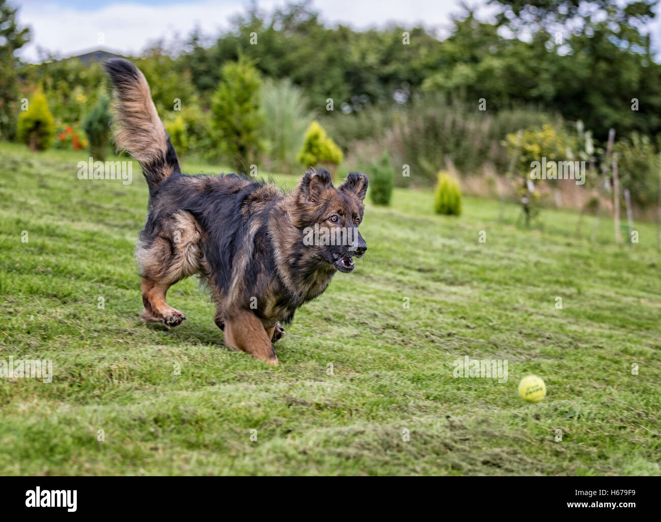 German Shepherd Dog chasing a ball outside on grass a favourite game for dogs. - Stock Image