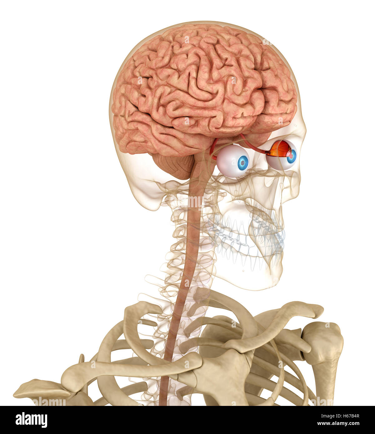 Optical Nerve Brain Anatomy 3d Stock Photos & Optical Nerve Brain ...