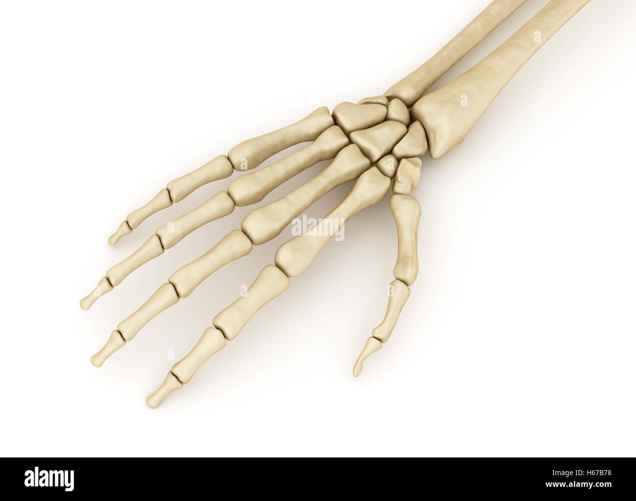 Human wrist skeletal anatomy. Medically accurate 3D illustration ...