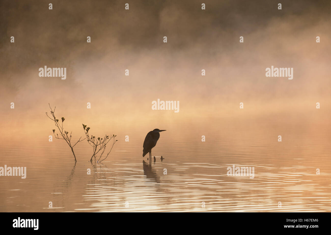 Grey heron overlooking misty lake at dawn Stock Photo