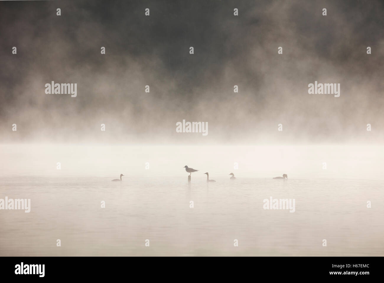 Black headed gull on a post in a misty lake surrounded by Great Crested Grebes - Stock Image
