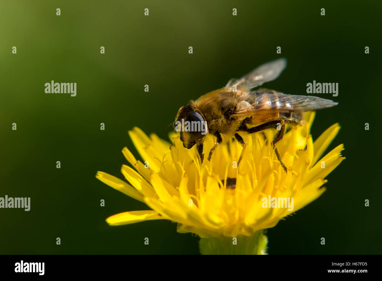 A Bee collecting nectar on a yellow flower Stock Photo