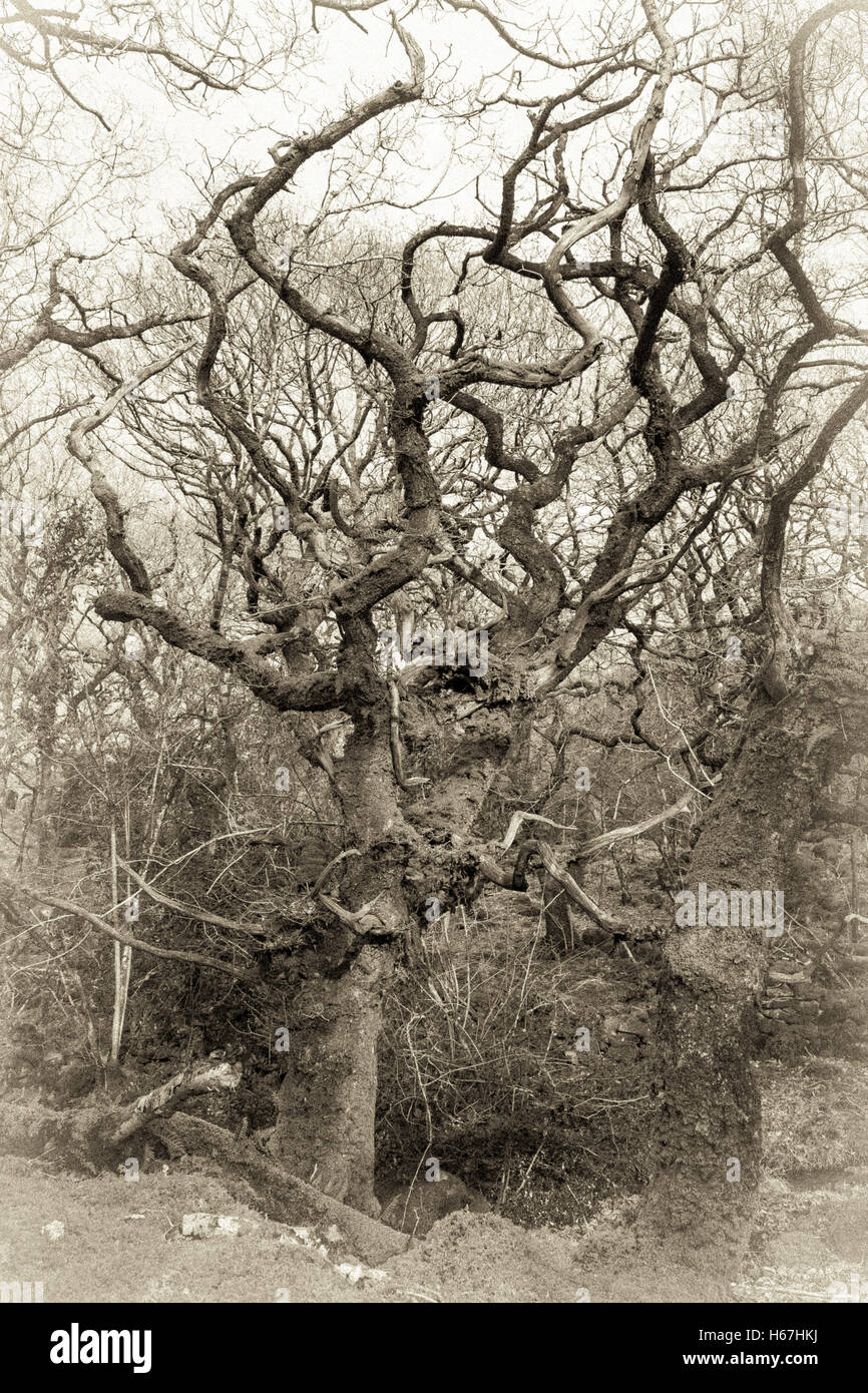 Old style B&W sepia of Ty Canol Woods in Pembrokeshire in the early spring. - Stock Image