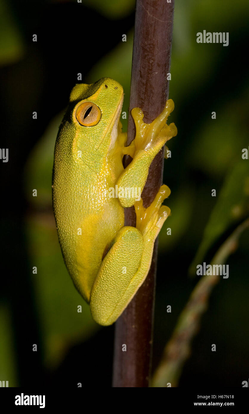 Tiny vivid yellow-green Australian dainty tree frog, Litoria gracilenta in garden, with golden eye on stem of fern - Stock Image