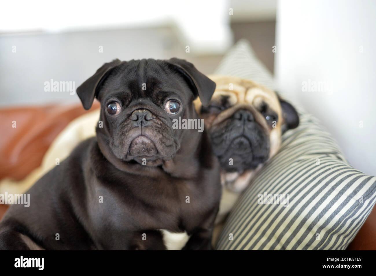 pug friends - Stock Image