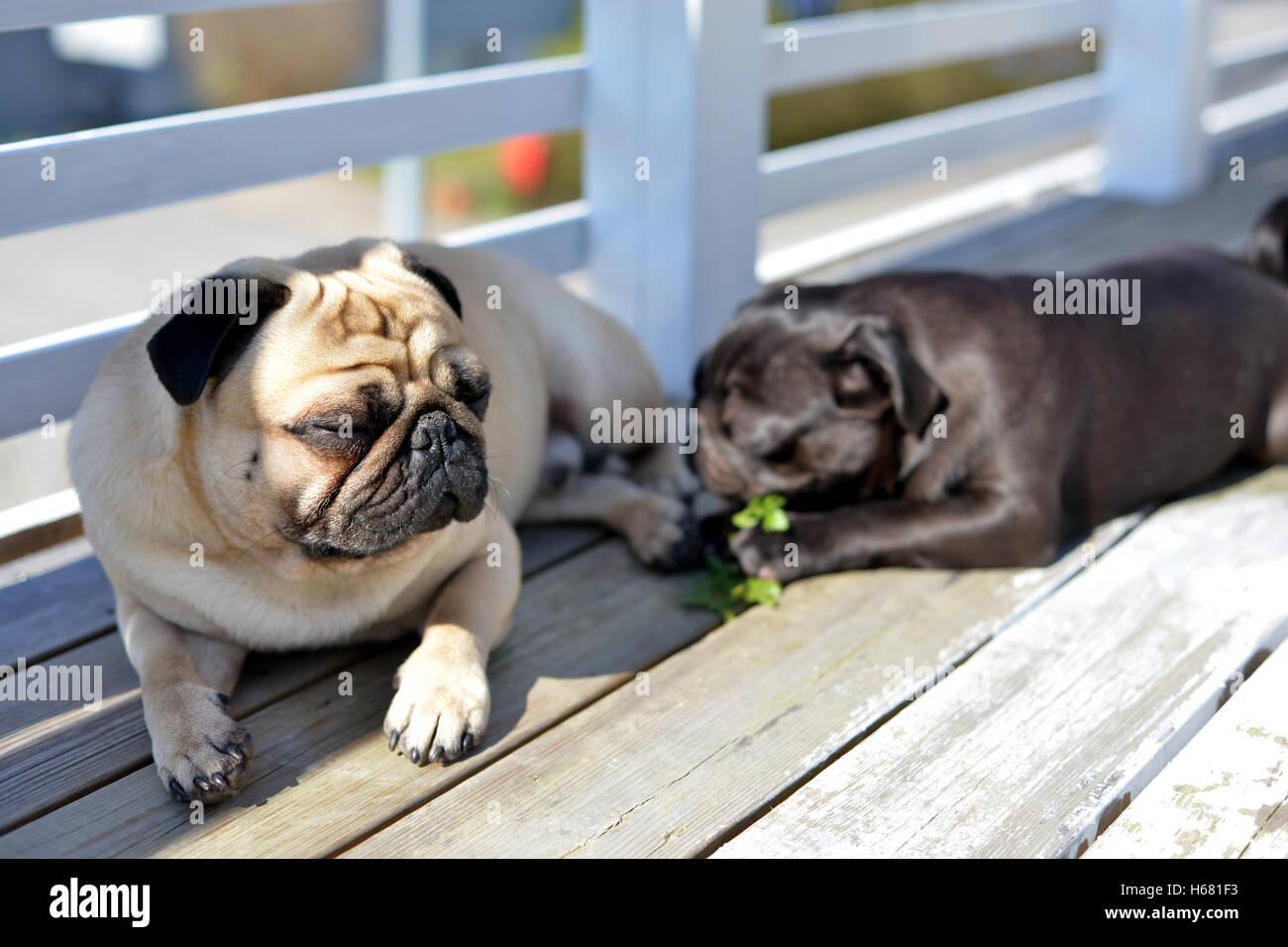 Pug's life - Stock Image