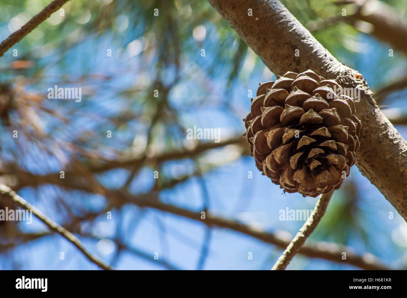 Pine cone on a tree at a seaside - Stock Image