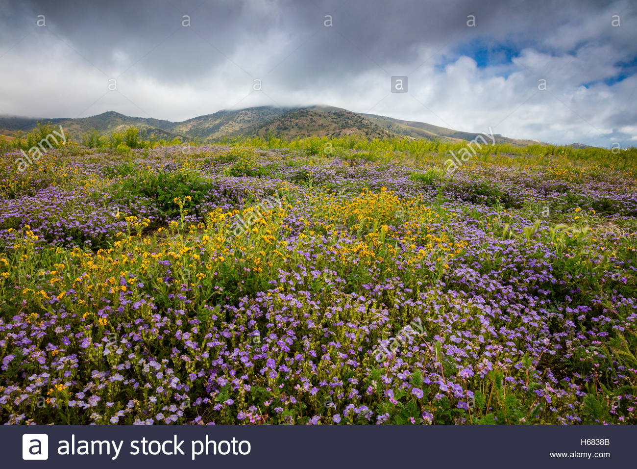 A carpet of yellow and violet spring wildflowers grow at the base of the Tehachapi Mountains in California, as an - Stock Image