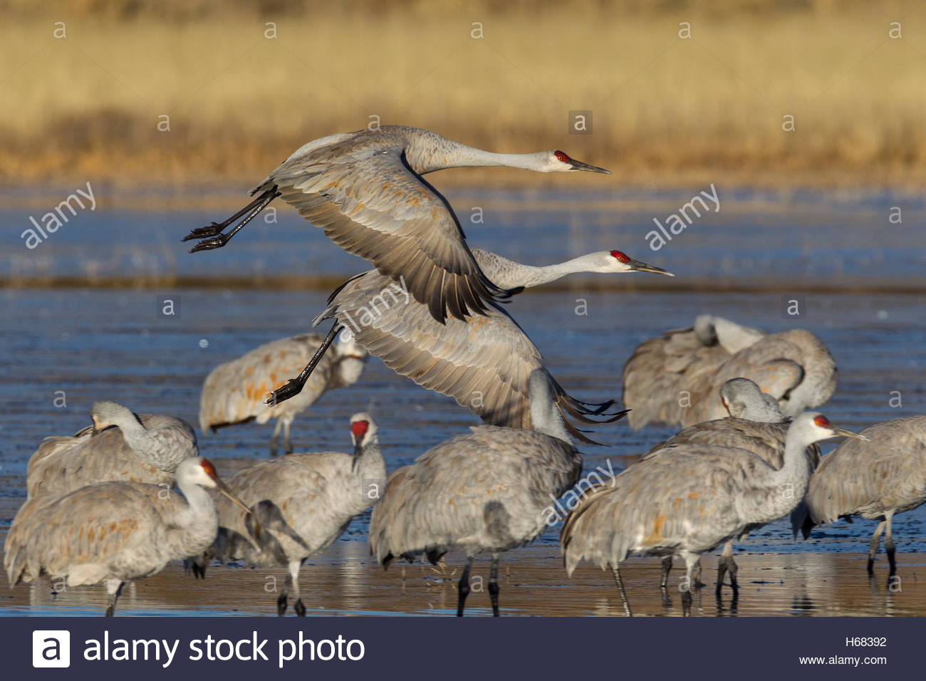 A pair of sandhill cranes (Grus canadensis) take off from a pond in the Bosque del Apache National Wildlife Refuge - Stock Image