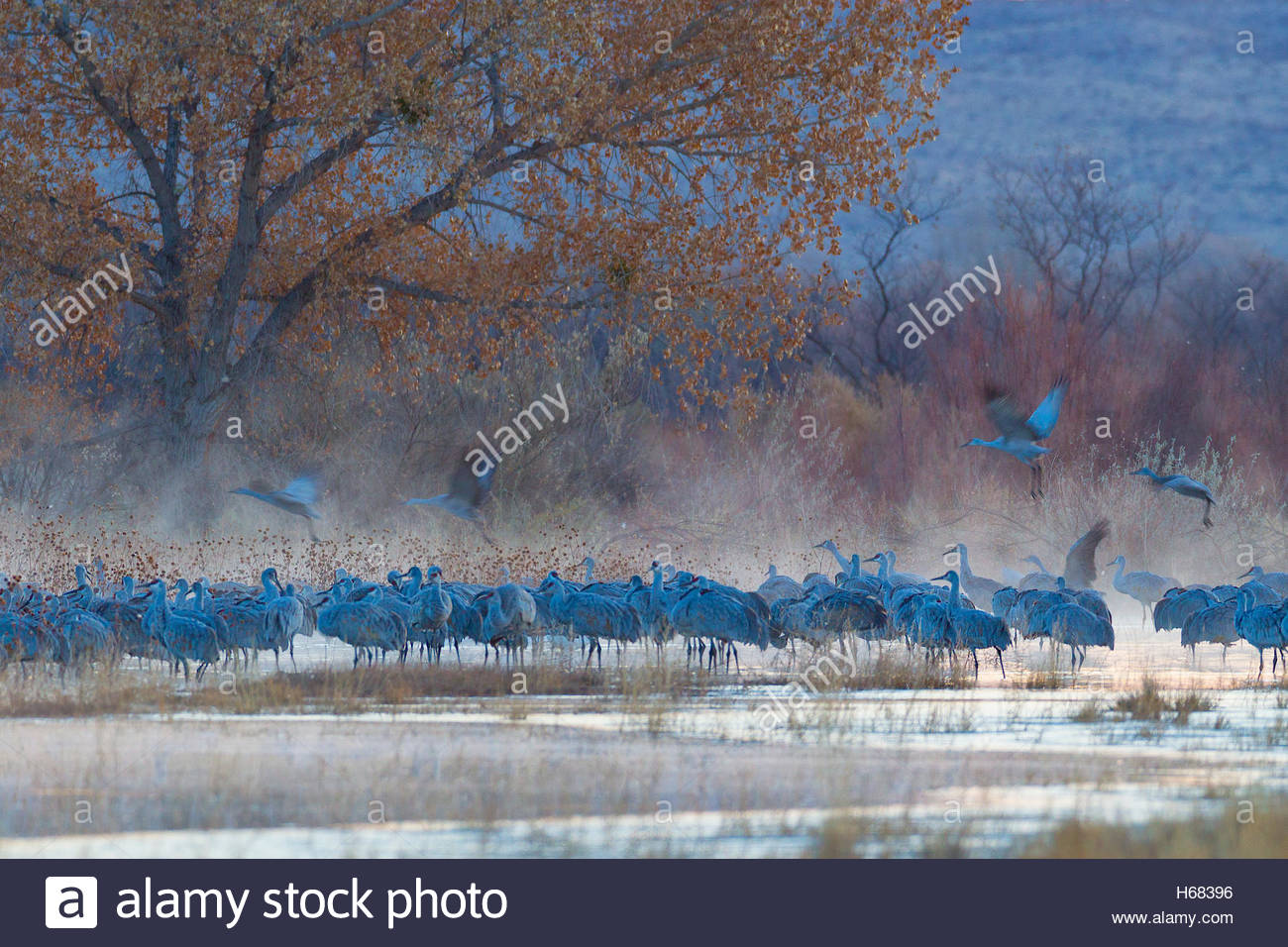 Dozens of sandhill cranes (Grus canadensis) rest on a foggy pond in the Bosque del Apache National Wildlife Refuge - Stock Image