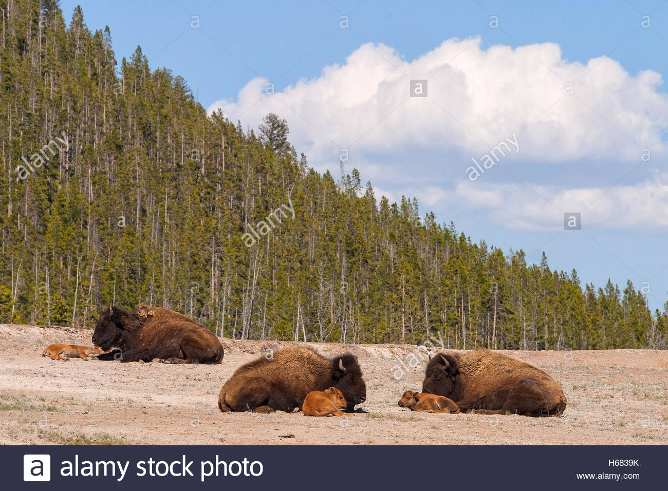 Three American bison (Bison bison) rest with their calves on an open field in Yellowstone National Park, Wyoming. Stock Photo