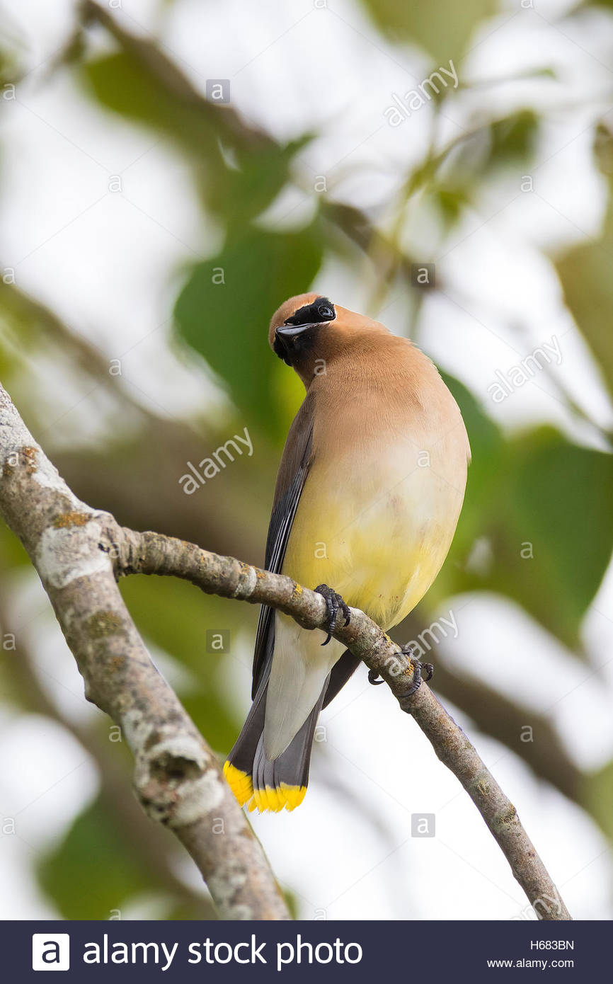 A Cedar Waxwing (Bombycilla cedrorum) stretches on its perch in a tree on Smith Island, Everett, Washington. - Stock Image