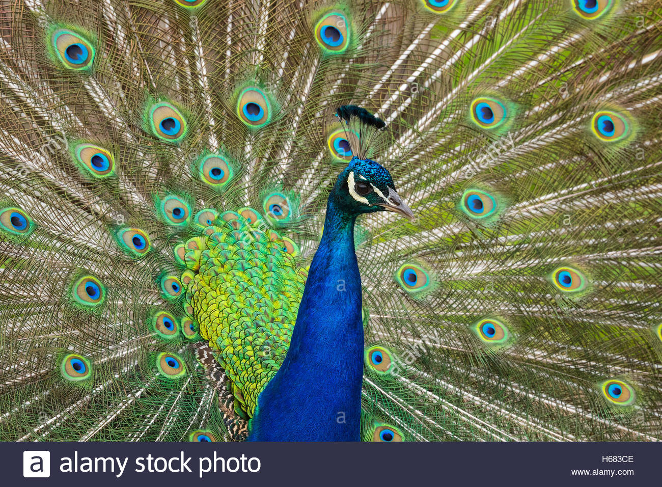 A captive peacock — specifically Indian peafowl or blue peafowl (Pavo cristatus) — fans out his tail feathers to - Stock Image