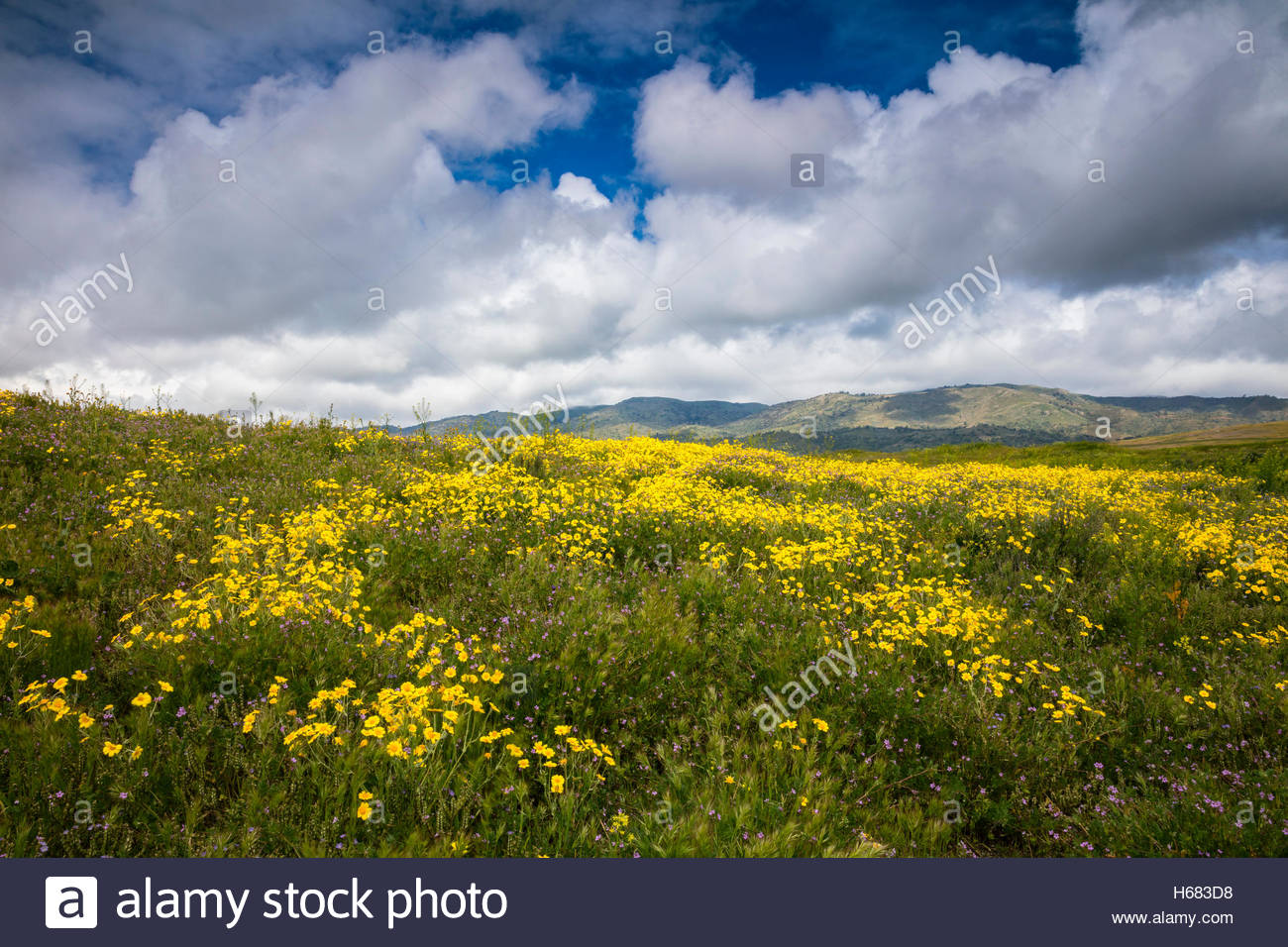 A hillside over Tehachapi, California, is lush with yellow and violet wildflowers as a spring rainstorm approaches. - Stock Image