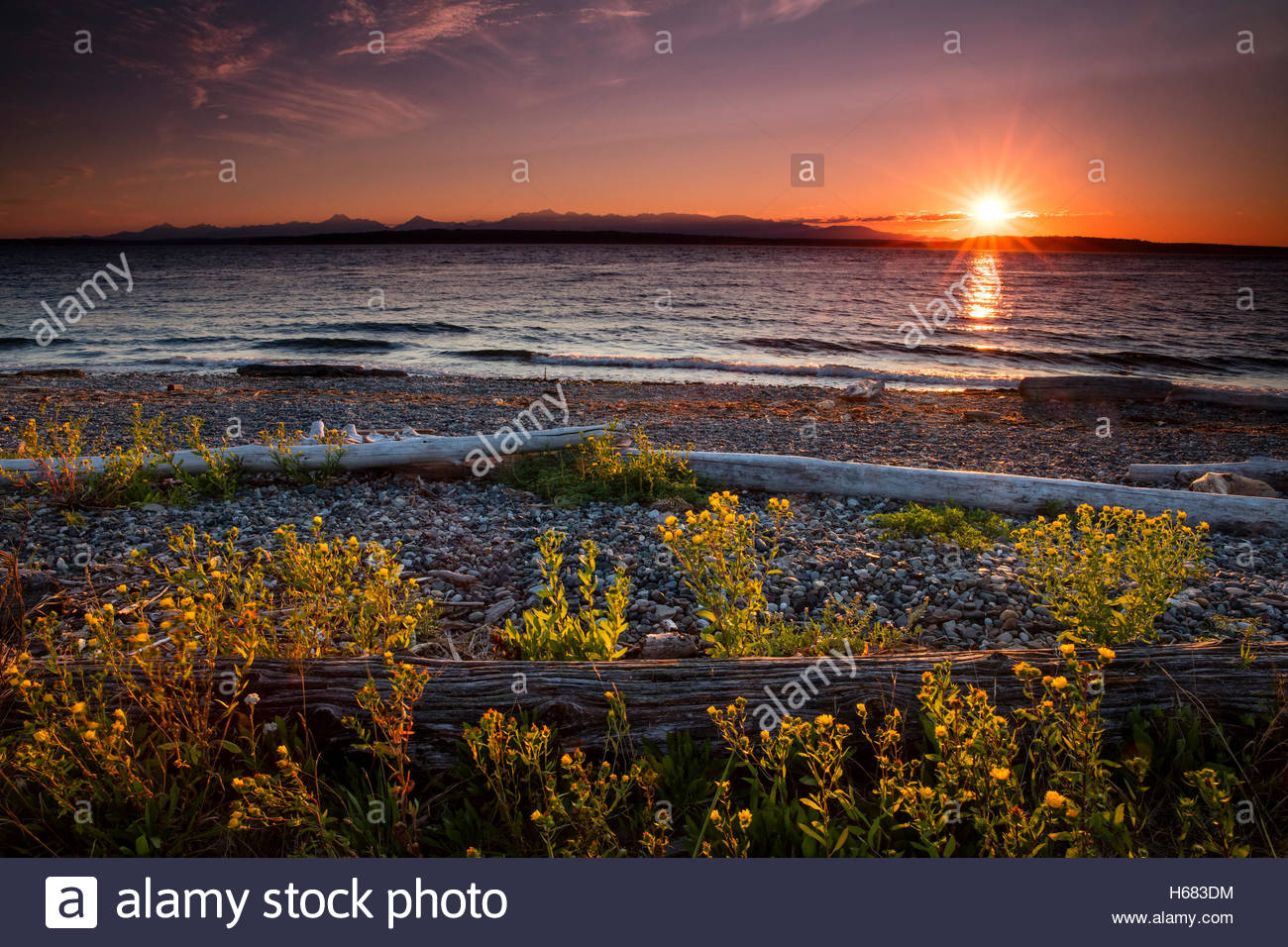 The sun lights up flowers and driftwood just before it sets behind the Olympic Mountains in this view from Richmond - Stock Image