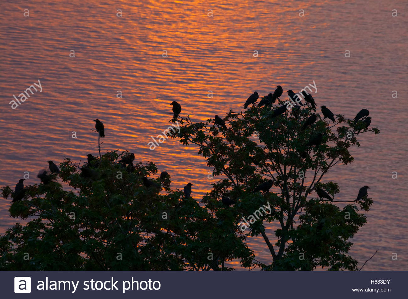 A few dozen American crows (Corvus brachyrhynchos) sit together in a tree overlooking Puget Sound, waiting for the Stock Photo