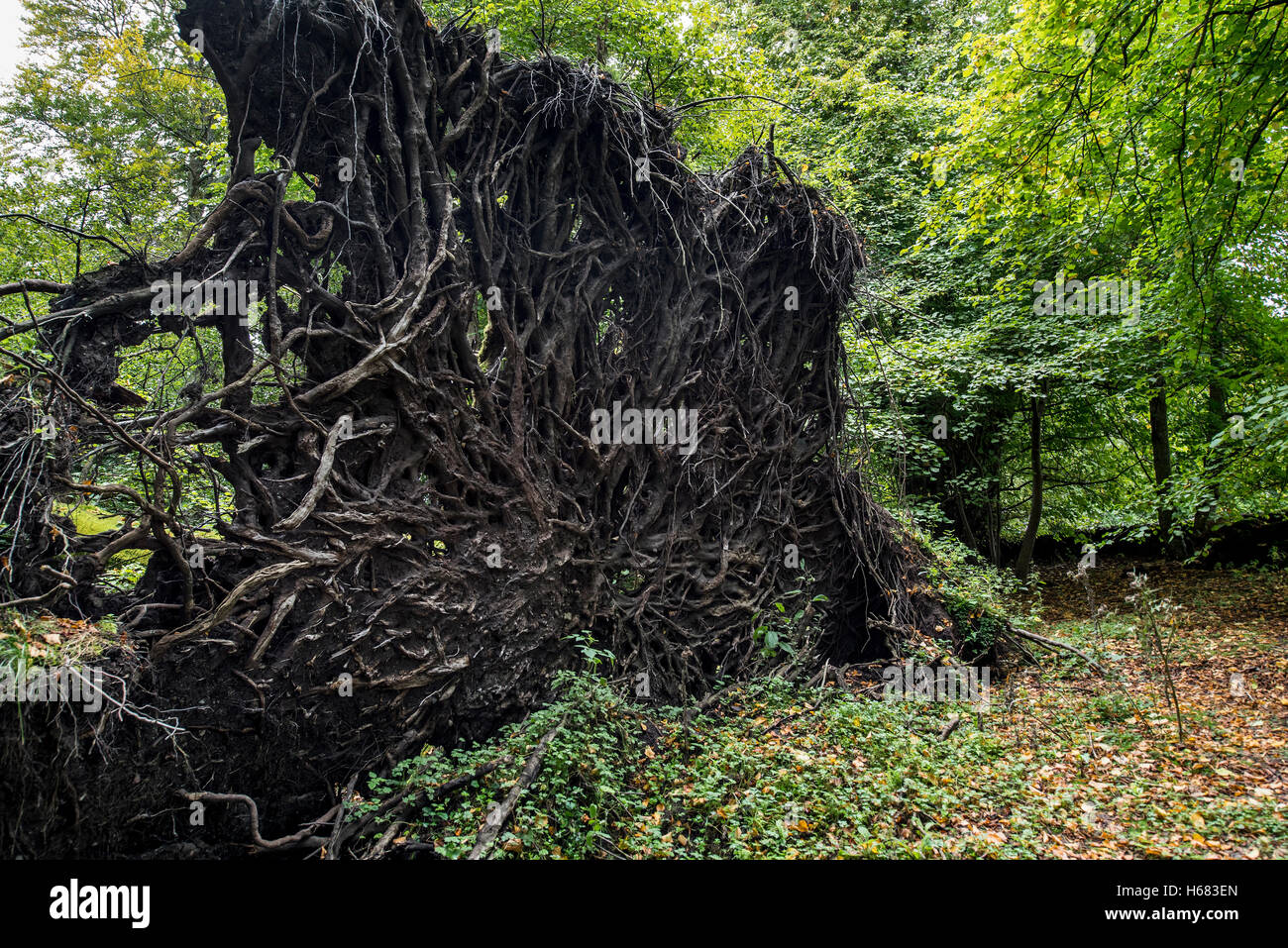 Uprooted European beech (Fagus sylvatica) exposing its tree roots due to high winds of hurricane storm raging through Stock Photo