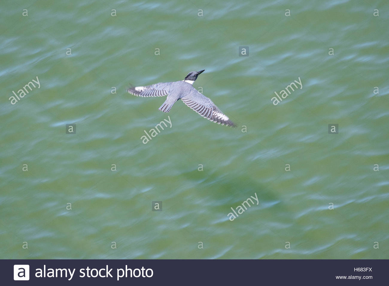 A belted kingfisher (Megaceryle alcyon) flies low over the Snohomish River in Everett, Washington, in search of - Stock Image