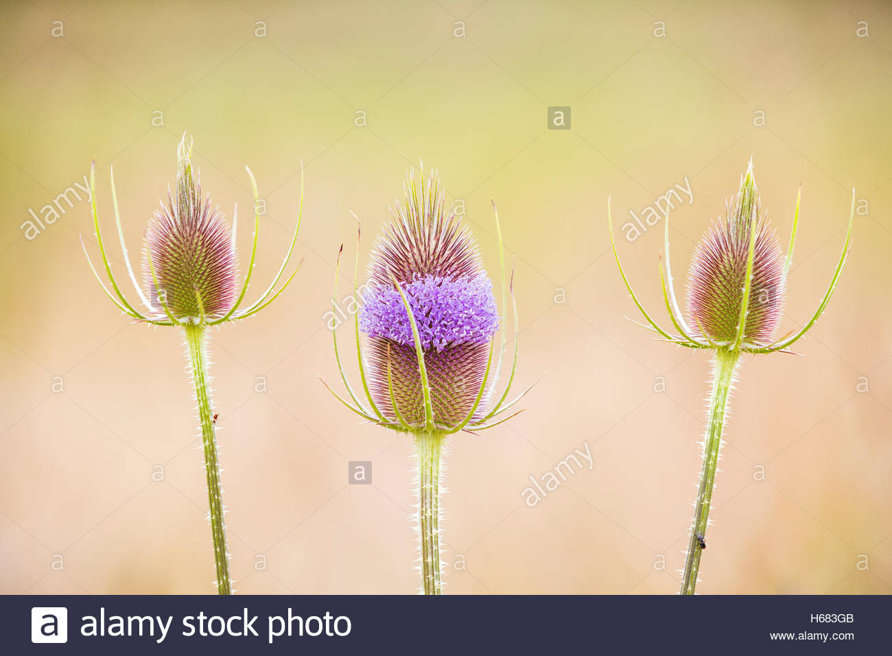 Three spear thistle plants (Cirsium vulgare), also known as bull thistle, begin to bloom in Snohomish, Washington. Stock Photo
