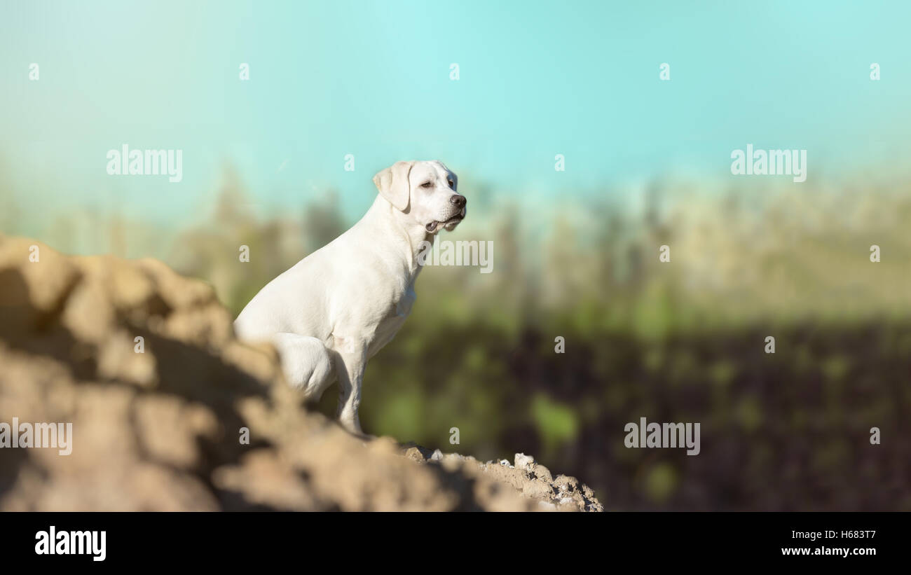 young labrador retriever dog puppy on a hill - Stock Image