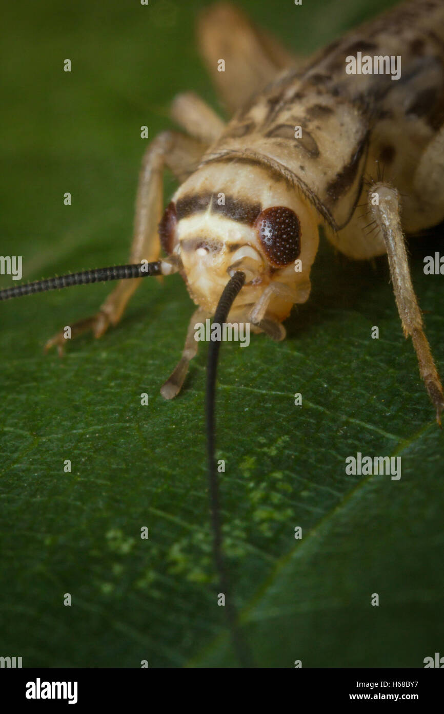 Close up macro feeder house cricket on green leaf - Stock Image