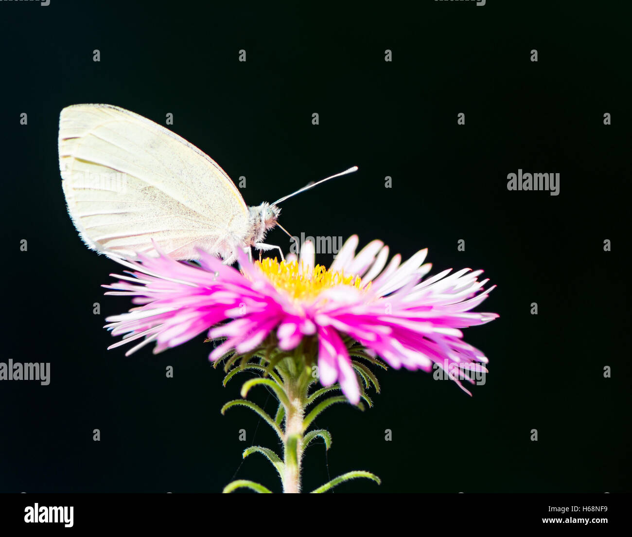 White cabbage butterlfy on a pink aster flower blossom - Stock Image