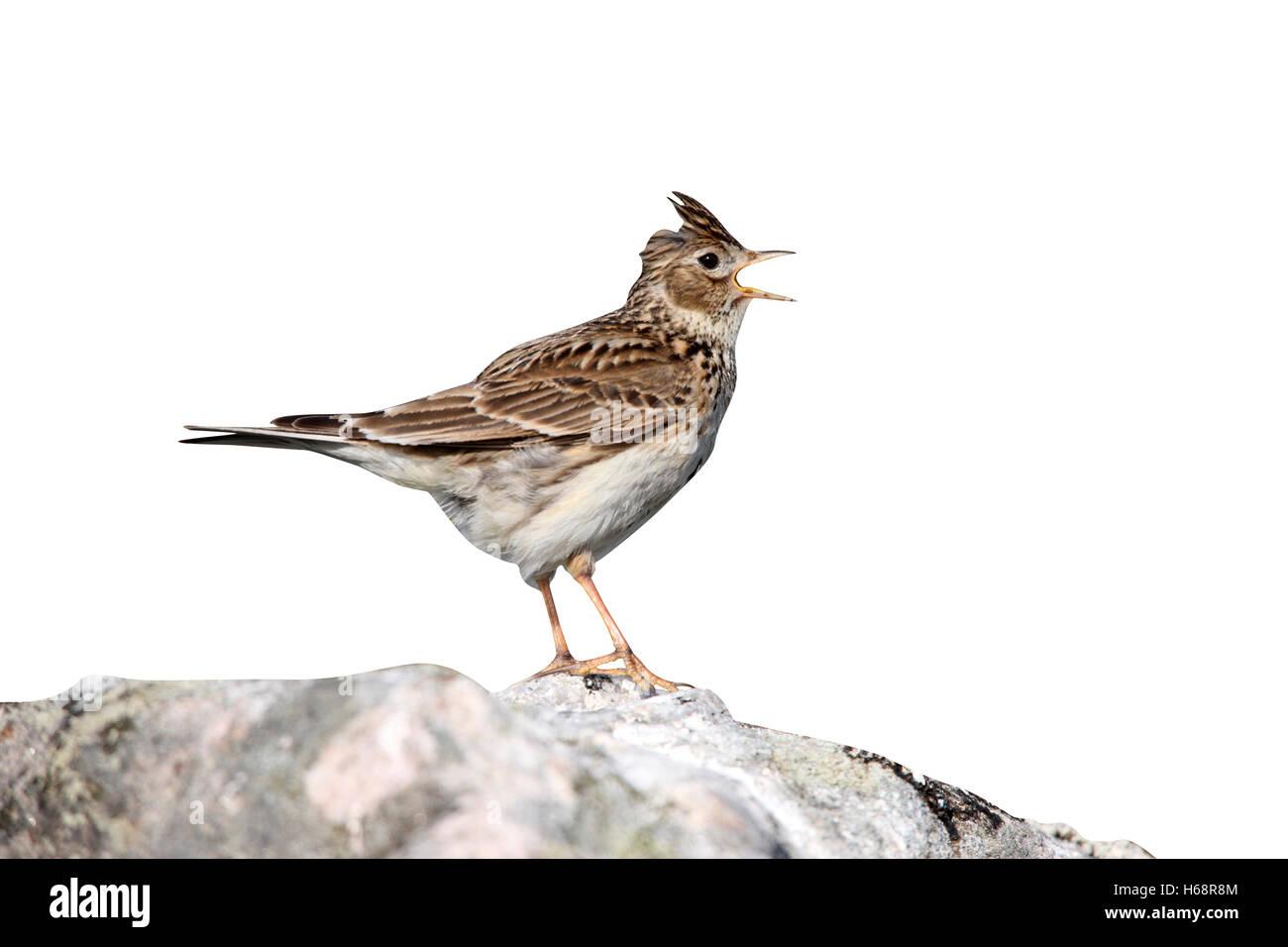 Skylark, Alauda arvensis, singing, Scotland, spring - Stock Image