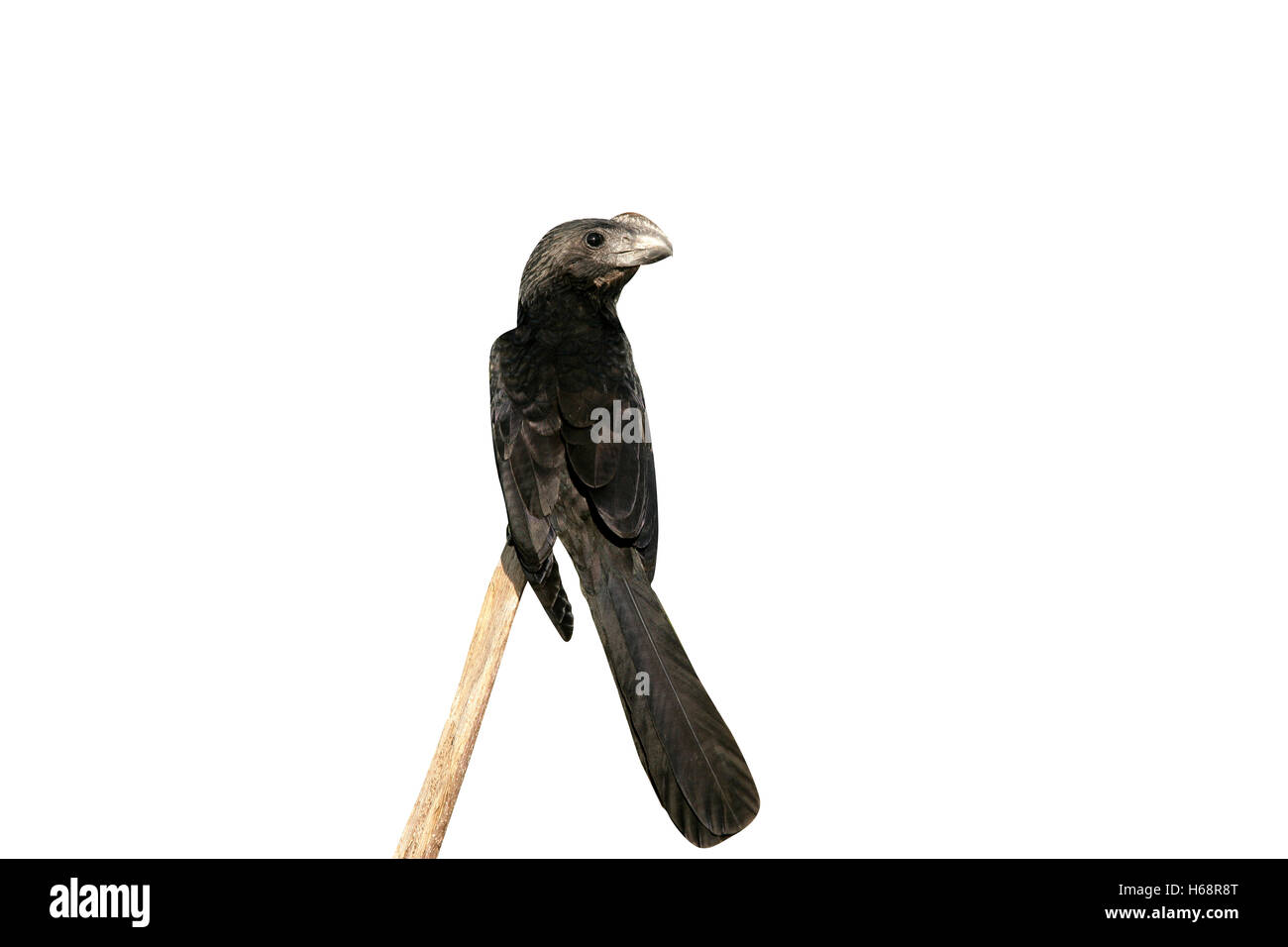 Smooth-billed ani,  Crotophaga ani, single bird on branch, Brazil - Stock Image