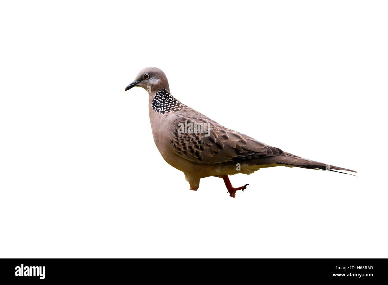 Spotted dove, Streptopelia chinensis, single bird on grass, Indonesia, March 2011 - Stock Image
