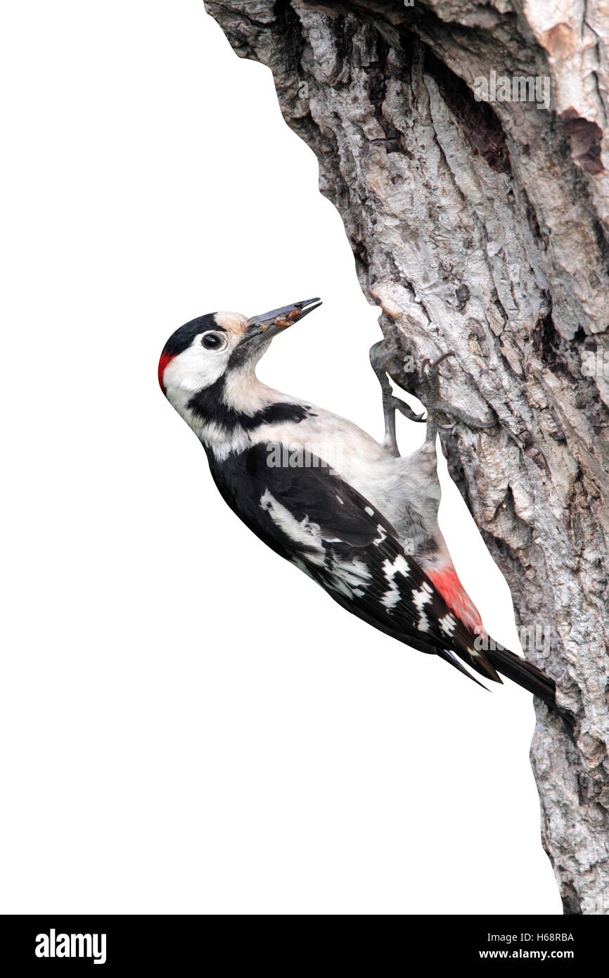Syrian woodpecker, Dendrocopos syriacus, single male at nest, Bulgaria, May 2010 - Stock Image