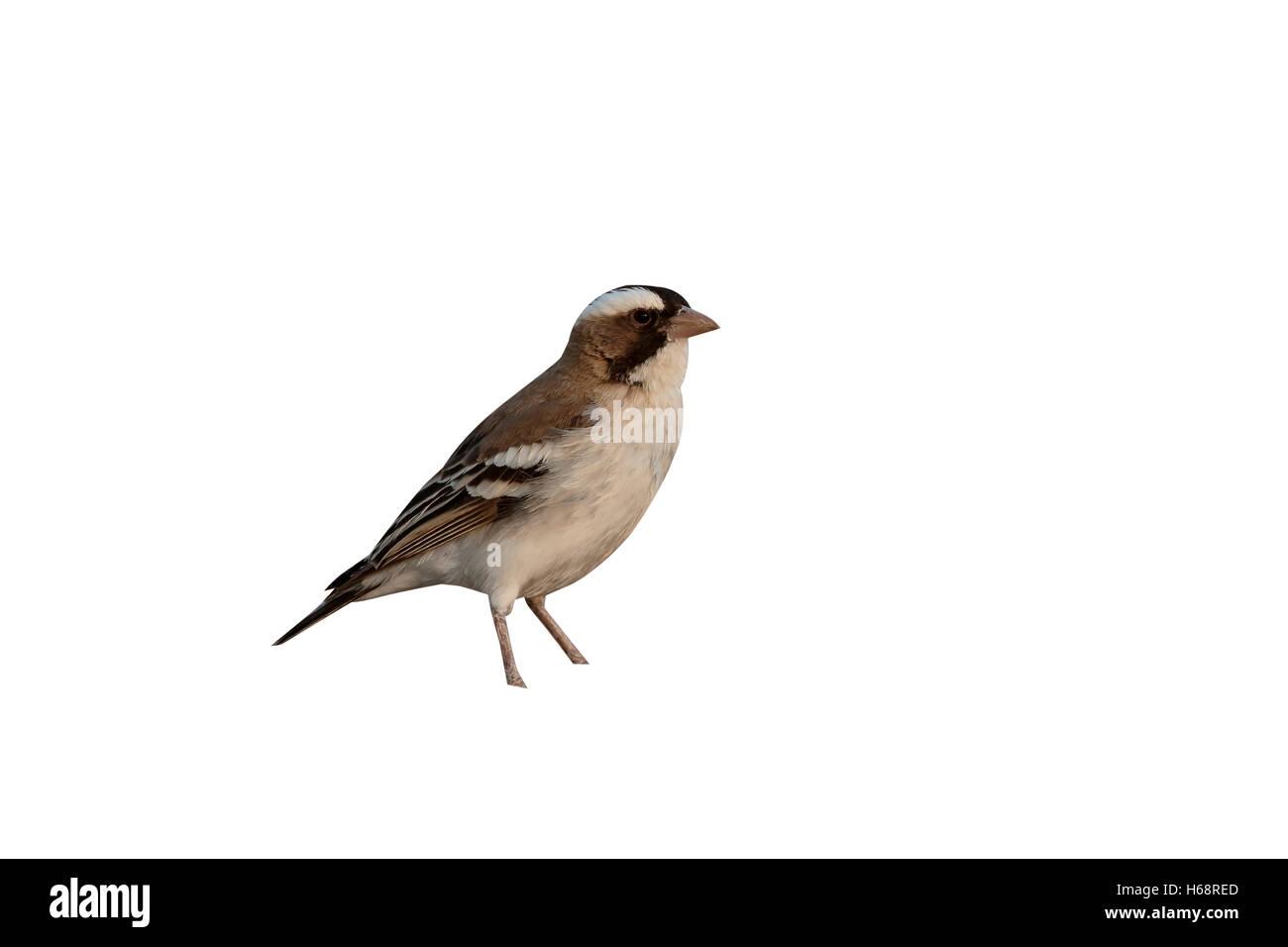 White-browed sparrow-weaver,  Plocepasser mahali, single bird on floor, South Africa, August 2016 - Stock Image