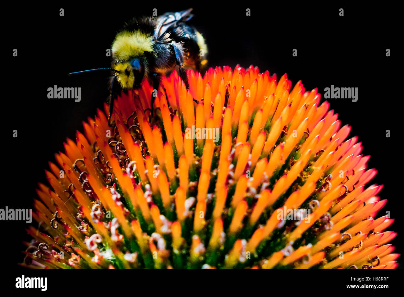 A bee atop a spiked orange flower - Stock Image