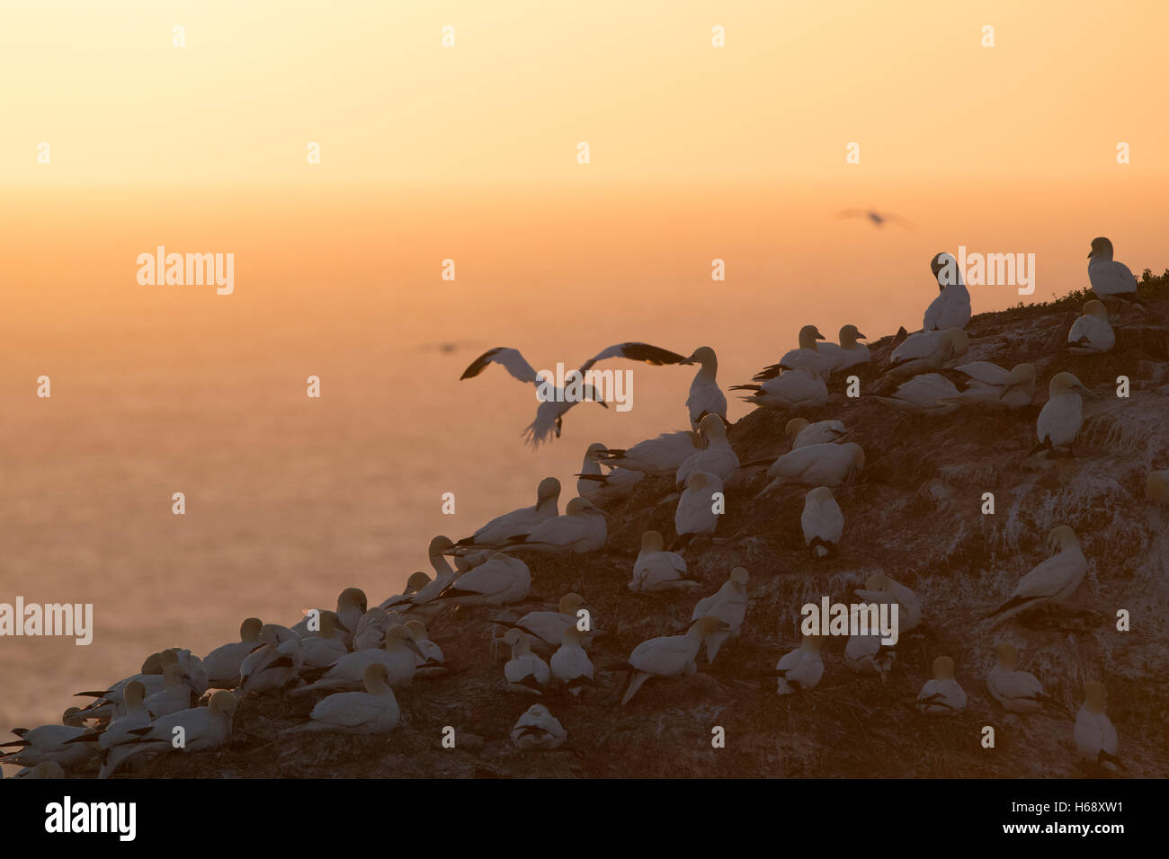 Northern Gannet (Sula bassana) colony at sunset, Schleswig-Holstein, Heligoland, Germany Stock Photo