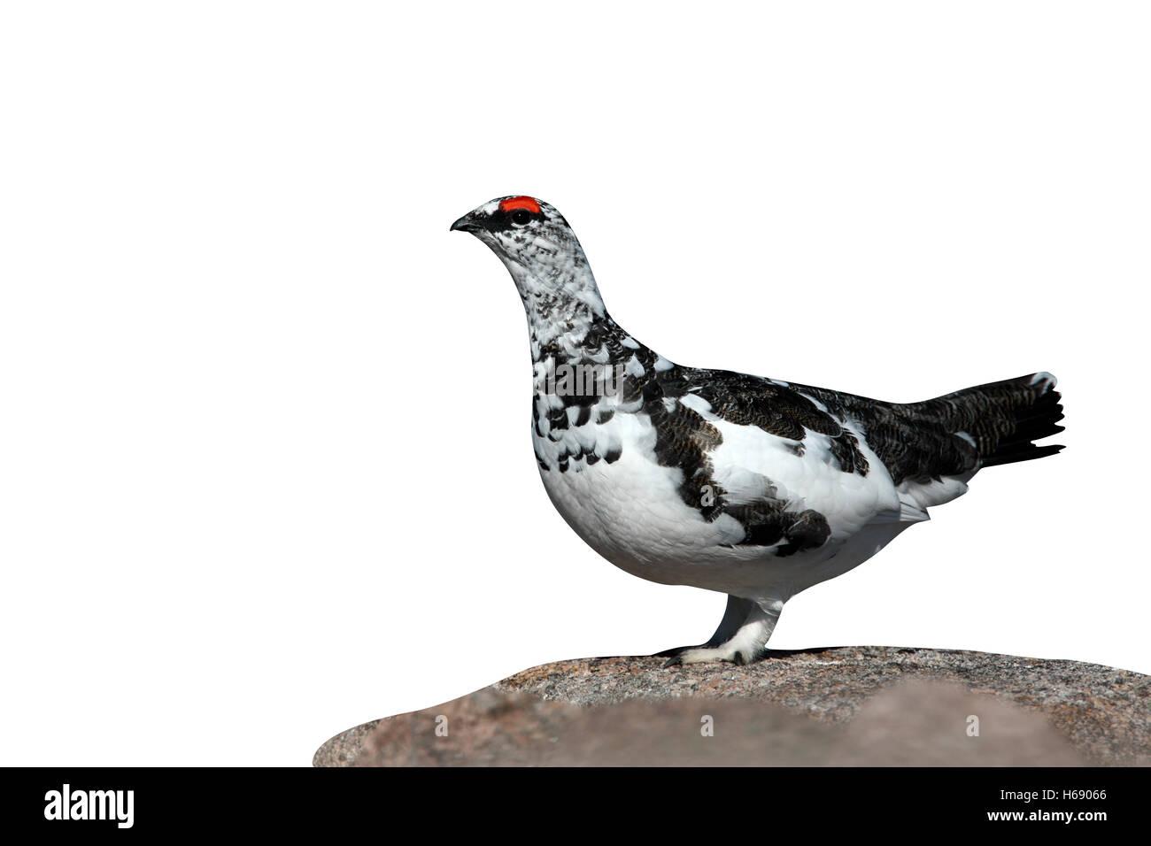 Ptarmigan, Lagopus mutus, male, spring, Scotland - Stock Image