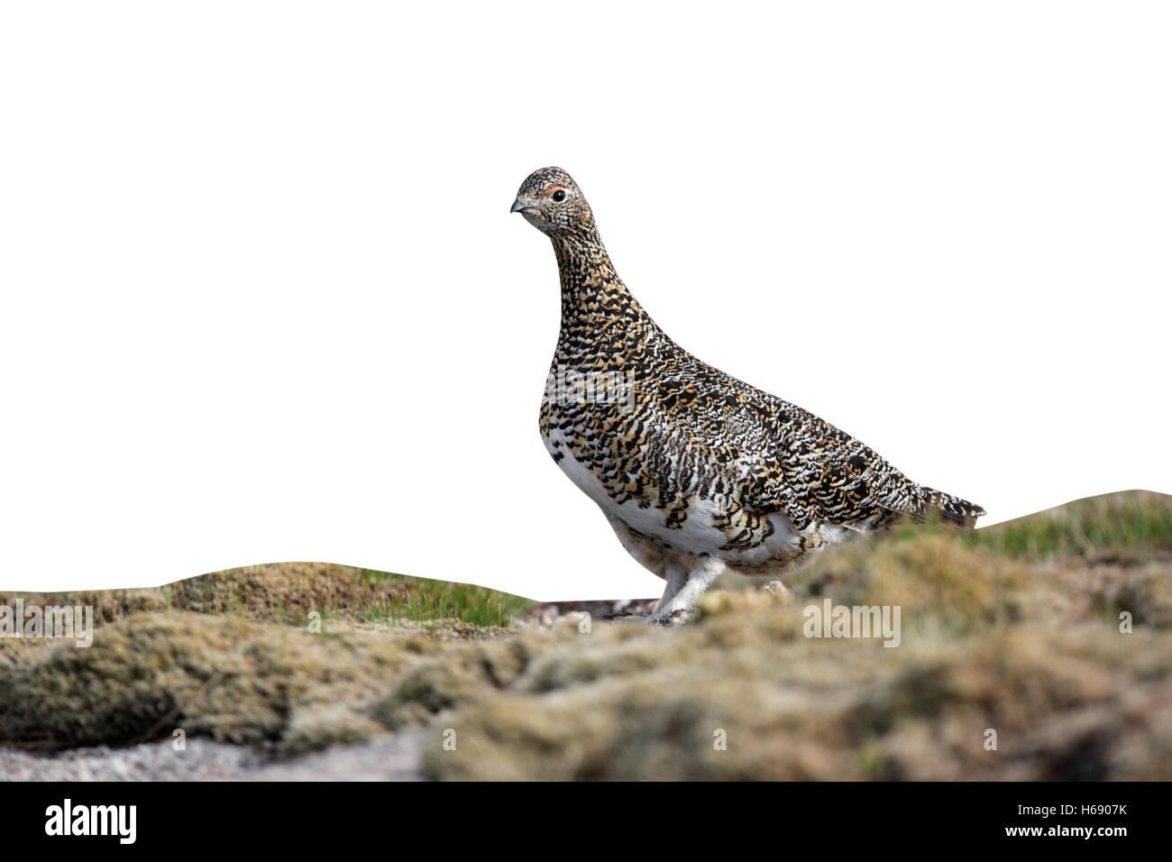 Ptarmigan, Lagopus mutus, female, Scotland, spring - Stock Image