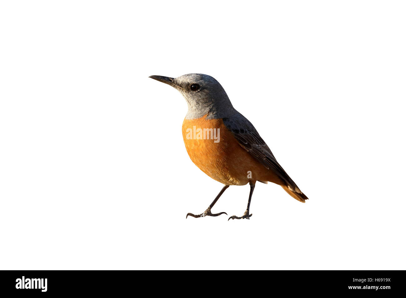 Short-toed rock-thrush, Monticola brevipes,  single bird on ground, South Africa, August 2015 - Stock Image