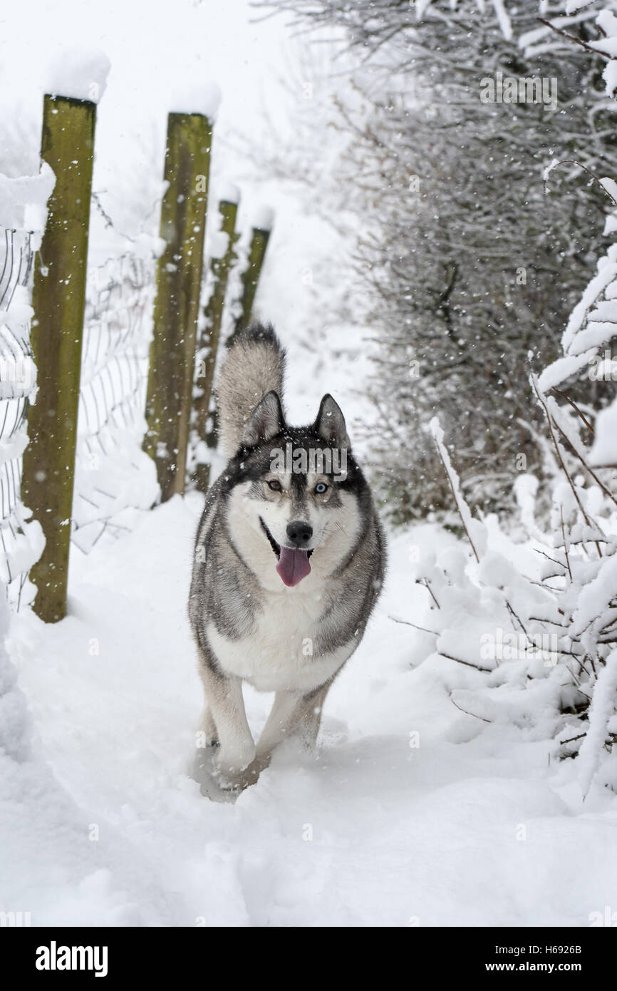 Husky running down public footpath in the snow with tongue out excited and having fun. - Stock Image