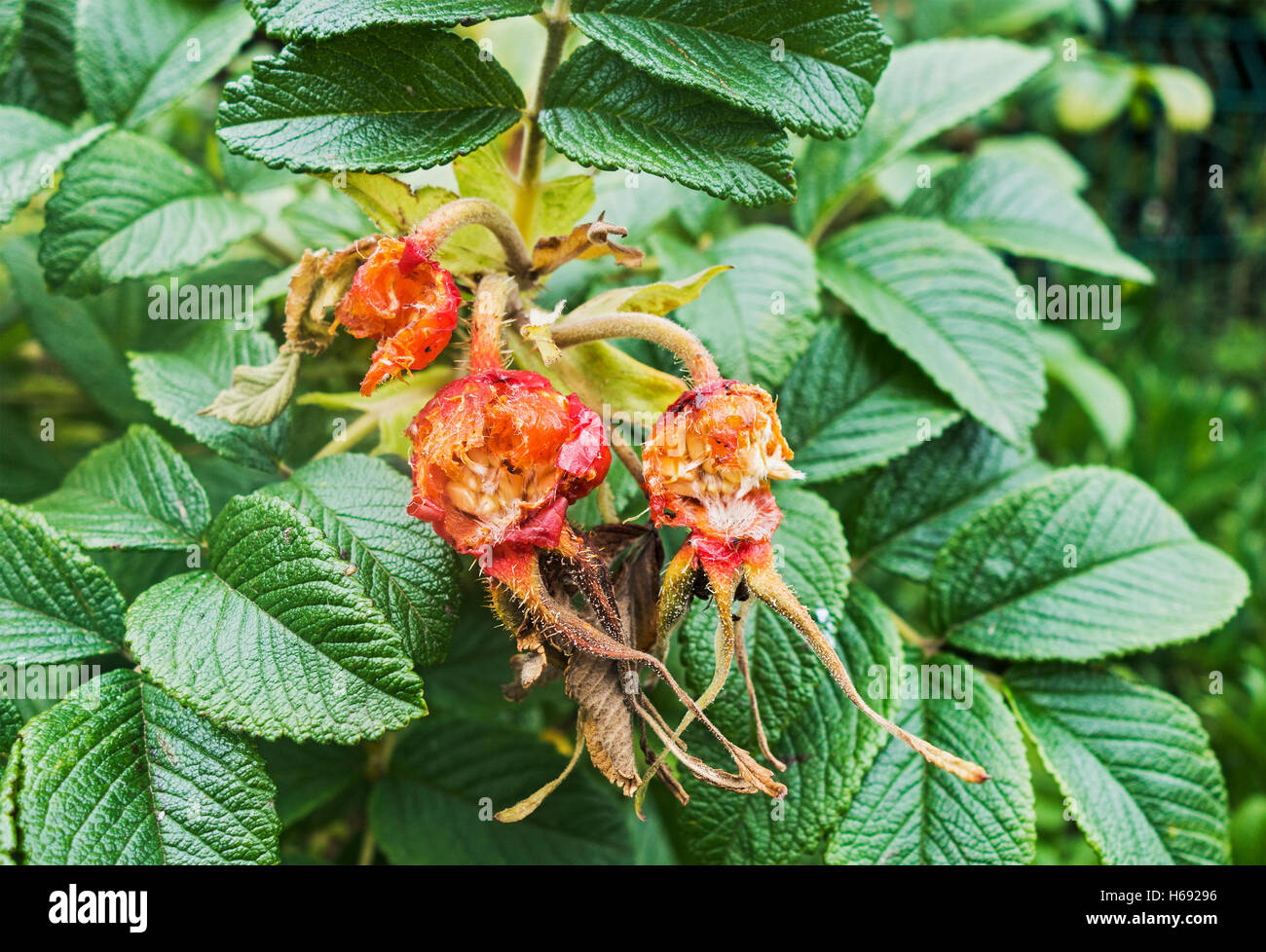 Rose hips are a good source of vitamin C, although the seeds are strictly for the birds. - Stock Image