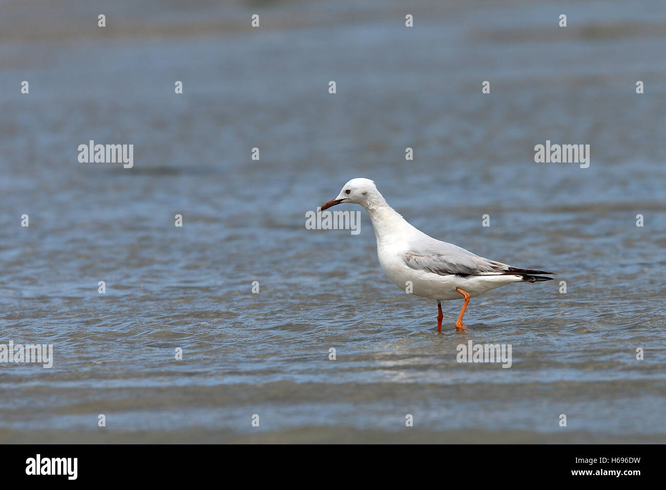 Slender-billed Gull (Larus genei), Merja Zerga, Morocco. Stock Photo