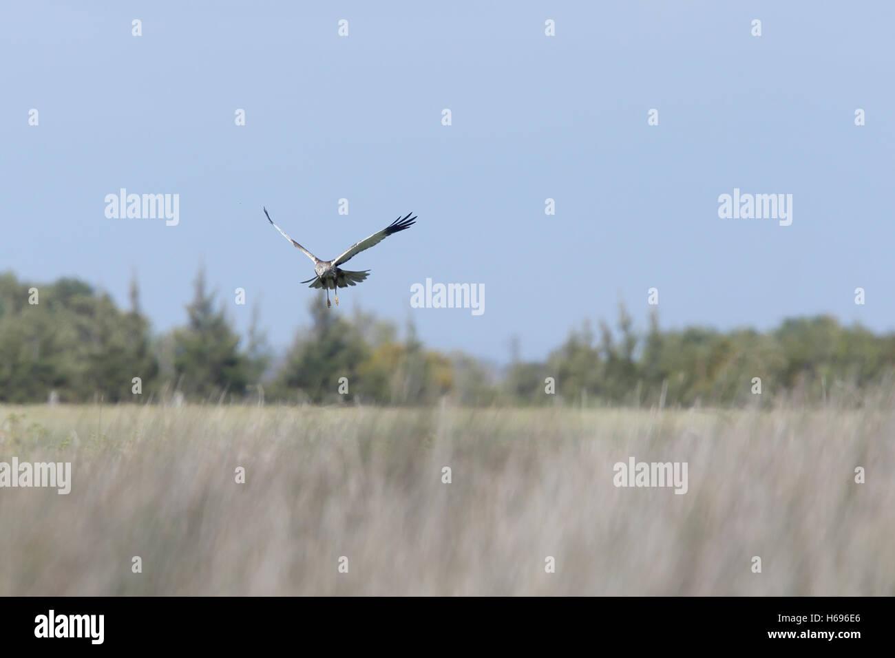 Marsh Harrier (Circus aeruginosus) male hovering low over the marsh, Merja Zerga, Morocco. - Stock Image