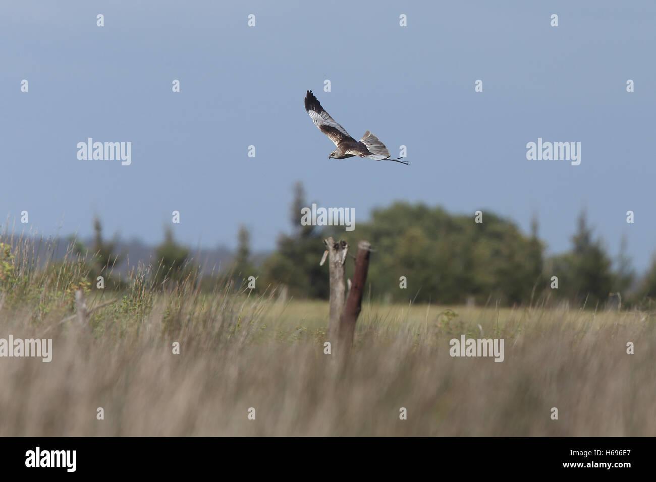 Marsh Harrier (Circus aeruginosus) male in flight over the marsh, Merja Zerga, Morocco. - Stock Image