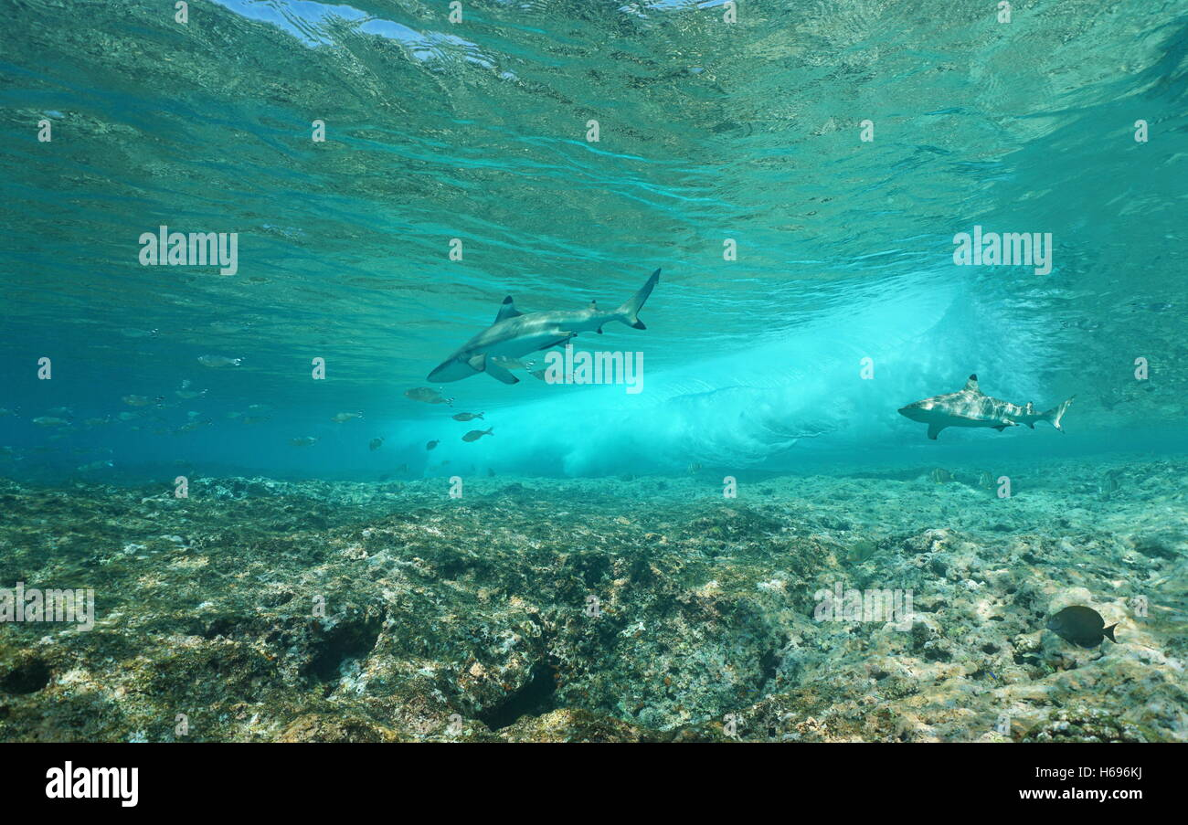 Underwater sea wave breaking on the fore reef with two blacktip reef sharks, Pacific ocean, Huahine, French Polynesia - Stock Image