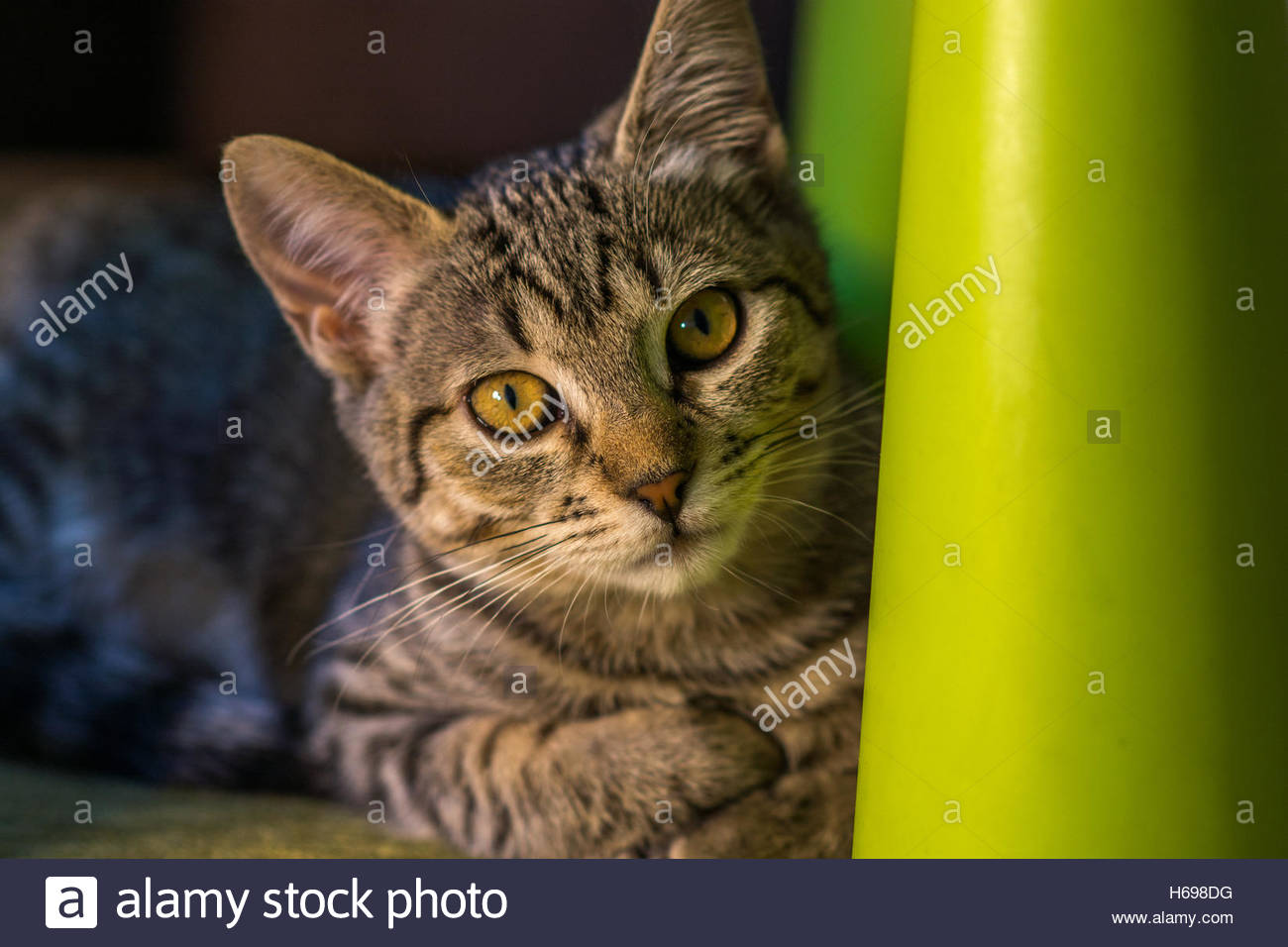 Gray common cat staring from a plastic chair, this particular cat was looking at two children playing in their room. - Stock Image