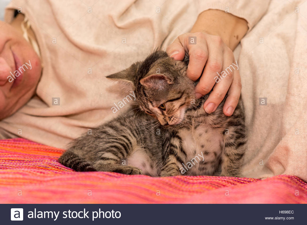 Highly relaxed female common gray cat receiving caresses lying next to a woman on the bed. - Stock Image
